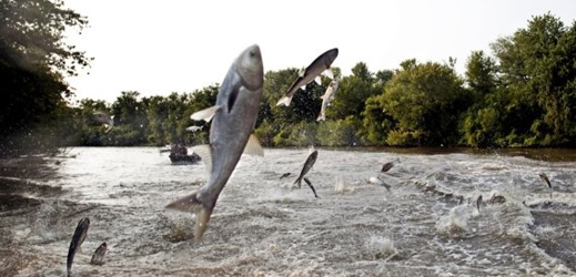 Great Lakes Defenders Have a Shocking Idea to Stave Off Invasive Carp